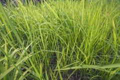 Groene Bies in de tuin Royalty-vrije Stock Fotografie