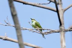 Groene bij-Eter stock foto
