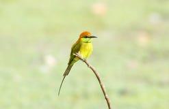 Groene bij-Eter Merops-orientalis stock afbeeldingen
