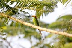 Groene bij-Eter Merops-orientalis stock afbeelding
