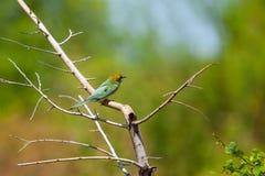 Groene bij-eter op een tak royalty-vrije stock foto