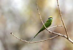 Groene bij-eter in Pench Tiger Reserve stock foto