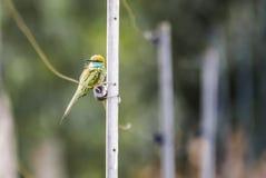 Groene bijeneter - op de omheining stock afbeeldingen