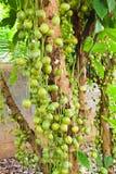 Groene Birmaanse druif Stock Afbeeldingen