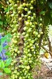 Groene Birmaanse druif Stock Foto