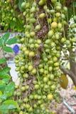Groene Birmaanse druif Royalty-vrije Stock Fotografie