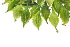 Groene bittere pompoen Stock Foto