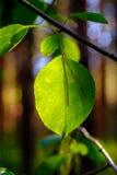 Groene blad en pijnboomnaald Stock Afbeelding