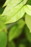 Groene blad lichte toon Royalty-vrije Stock Foto