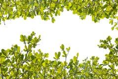Groene bladachtergrond Stock Foto