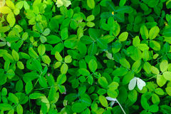 Groene bladachtergrond in aard met Zon zachte verlichting Stock Fotografie
