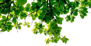 Groene bladachtergrond met tak stock foto's