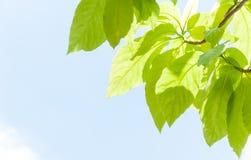 Groene bladbladeren die in de lente voor achtergrond ontluiken Royalty-vrije Stock Foto