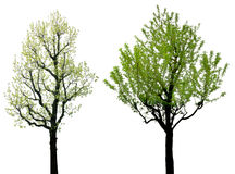 Groene bladboom met zwarte die takken op witte achtergrond worden geïsoleerd royalty-vrije stock foto's
