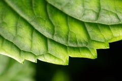 Groene bladclose-up Royalty-vrije Stock Foto