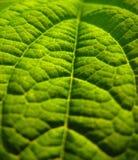 Groene bladclose-up Royalty-vrije Stock Fotografie
