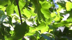 """Groene bladeren†""""esdoorn stock videobeelden"""
