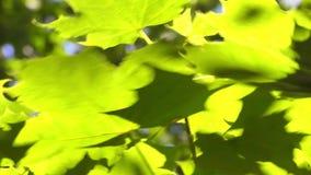 """Groene bladeren†""""esdoorn stock footage"""