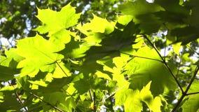 """Groene bladeren†""""esdoorn stock video"""