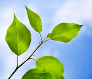 Groene bladeren Stock Afbeeldingen