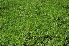 Groene Bladeren Royalty-vrije Stock Foto