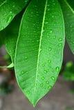 Groene bladeren. stock afbeelding