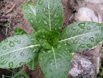groene Bladeren Royalty-vrije Stock Fotografie