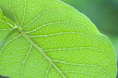 Groene bladeren, aders, bladeren en insecten royalty-vrije stock foto