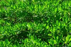 Groene bladeren als achtergrond Stock Afbeeldingen