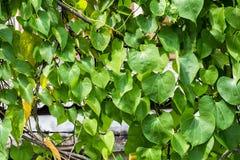 Groene bladeren als achtergrond, Stock Afbeeldingen