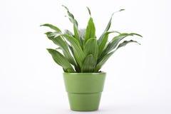 Groene bladeren in bloempot Stock Fotografie