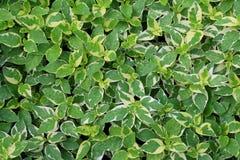 Groene bladeren in de de parkachtergrond en textuur Stock Foto