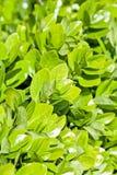 Groene bladeren in de zomer Royalty-vrije Stock Afbeeldingen