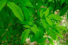 Groene bladeren die met zonlicht door glanzen Royalty-vrije Stock Afbeeldingen