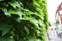 Groene bladeren die op de voorgevel van het huis groeien Stock Foto