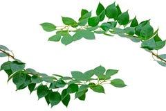 Groene bladeren die op het wit met het werkweg worden geïsoleerdm Stock Foto's