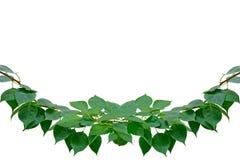 Groene bladeren die op het wit met het werkweg worden geïsoleerdt Stock Foto