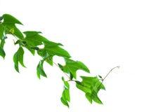Groene bladeren die op witte achtergrond worden geïsoleerd Stock Foto