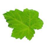 Groene bladeren die op witte achtergrond worden geïsoleerd Royalty-vrije Stock Foto's