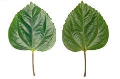 Groene bladeren die op witte achtergrond worden geïsoleerd Stock Fotografie