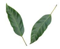 Groene bladeren die op witte achtergrond worden geïsoleerd Royalty-vrije Stock Afbeeldingen