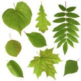 Groene bladeren die op witte achtergrond worden geïsoleerdt Stock Afbeeldingen