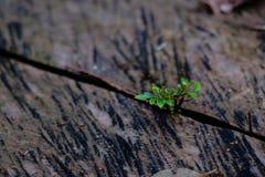Groene bladeren die van een houten plank groeien die, in licht wordt gebaad, Royalty-vrije Stock Fotografie