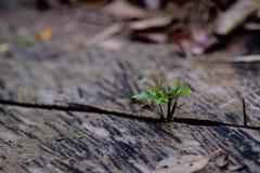 Groene bladeren die van een houten plank groeien die, in licht wordt gebaad, Stock Afbeelding