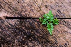 Groene bladeren die van een houten plank groeien die, in licht wordt gebaad, Royalty-vrije Stock Foto