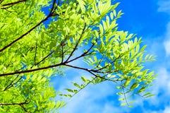 Groene bladeren en blauwe hemel Royalty-vrije Stock Afbeeldingen
