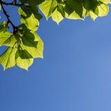Groene bladeren en blauwe hemel royalty-vrije stock foto