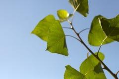 Groene bladeren en duidelijke blauwe hemel Royalty-vrije Stock Foto's