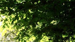 Groene bladeren en een lensgloed stock video