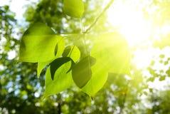 Groene bladeren en sunligt stock fotografie